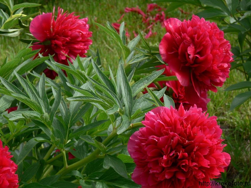 цветы 96
