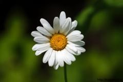 цветы 15