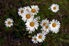 цветы 160