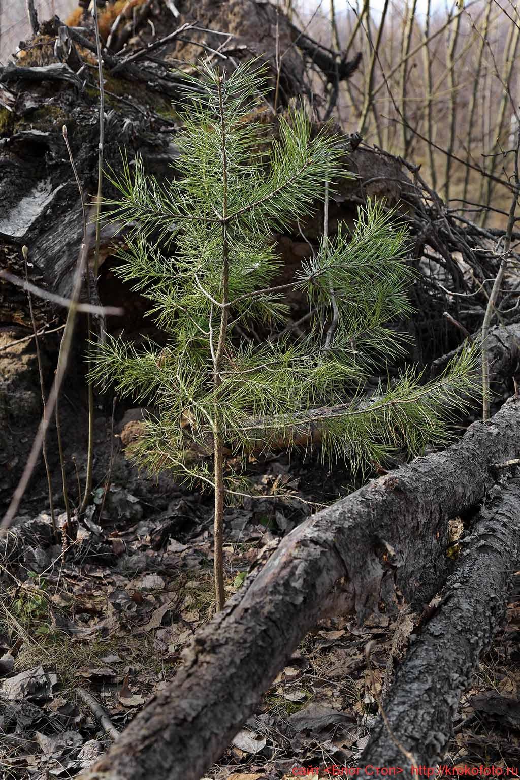 деревья 98