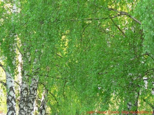 деревья 17