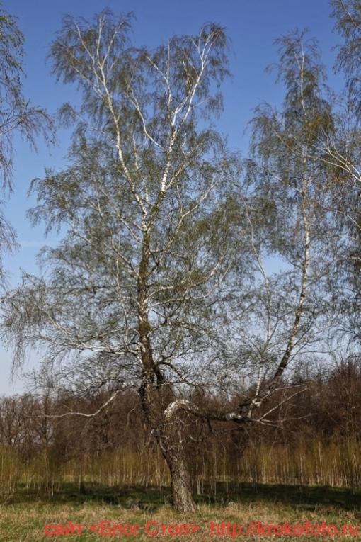 деревья 80